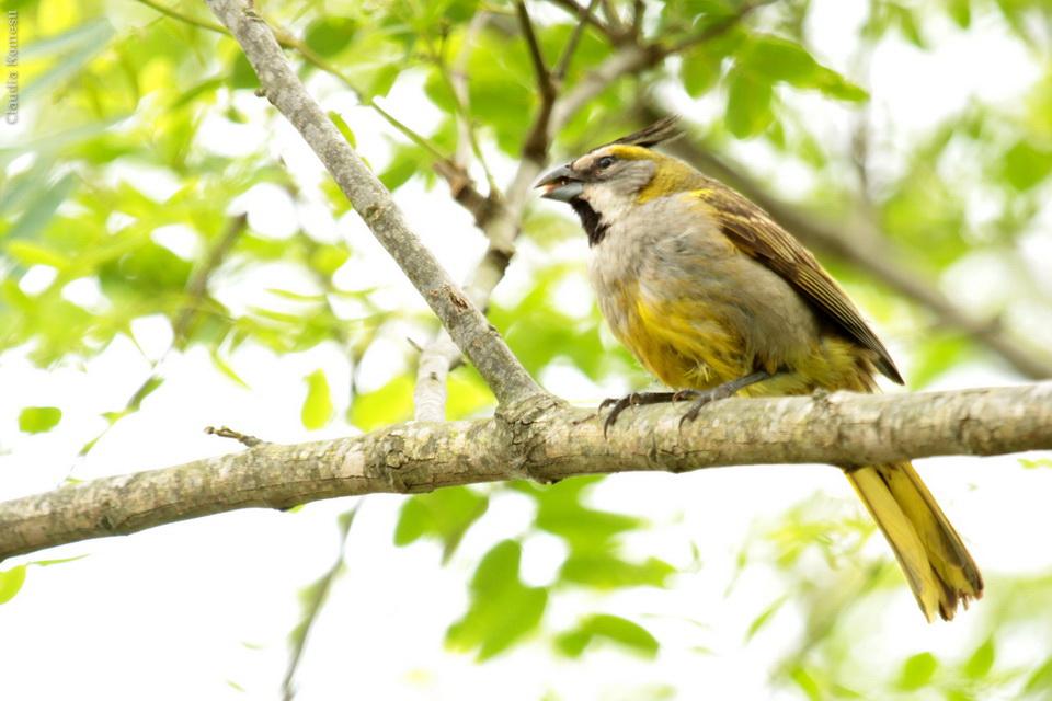 Cardeal-amarelo (Gubernatrix cristata) Yellow Cardinal