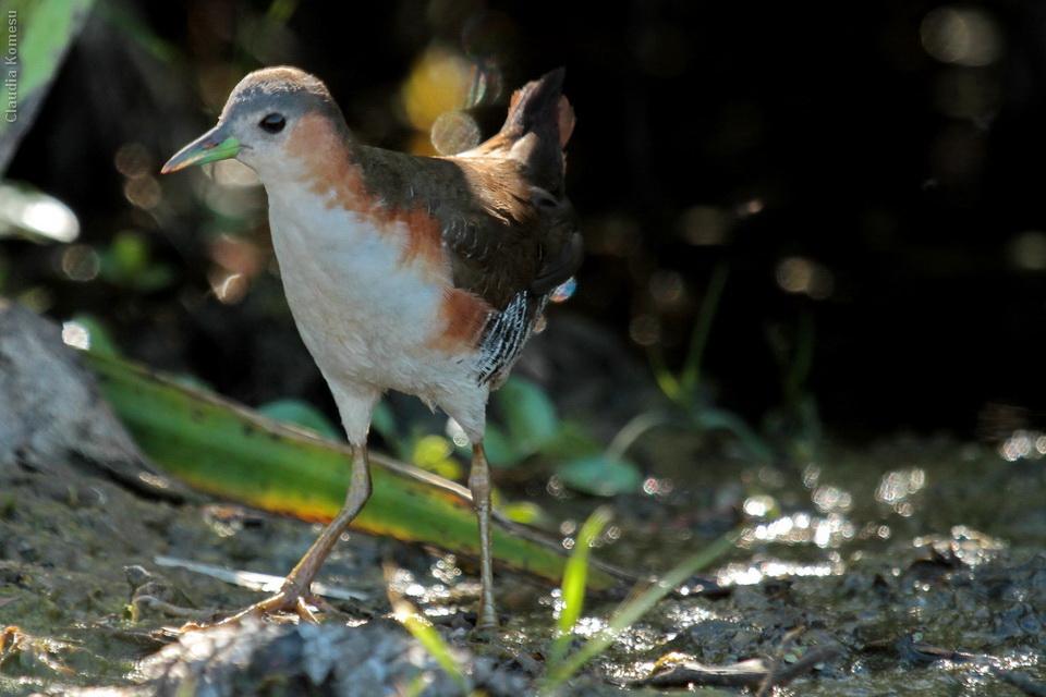 Sanã-parda (Laterallus melanophaius) Rufous-sided Crake