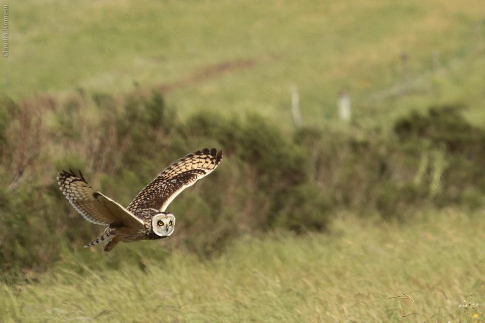 Mocho-dos-banhados (Asio flammeus) Short-eared Owl