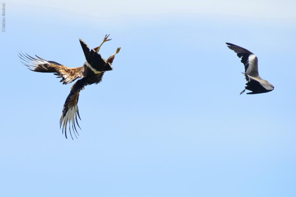 Gavião-asa-de-telha (Parabuteo unicinctus) Harris's Hawk