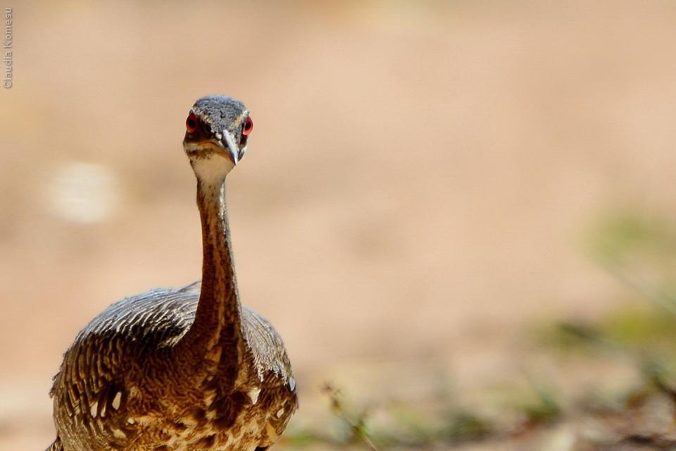 pavãozinho-do-pará. Não exatamente olhando, mas não resisti a esses grandes olhos vermelhos