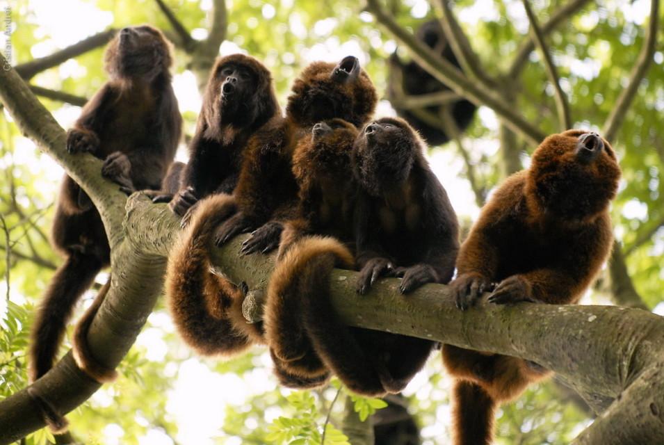 Bugios vivendo livres na mata do jardim zoológico de São Paulo
