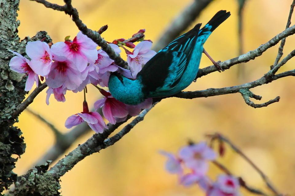 Saí-azul no Parque das Cerejeiras em Campos do Jordão - SP