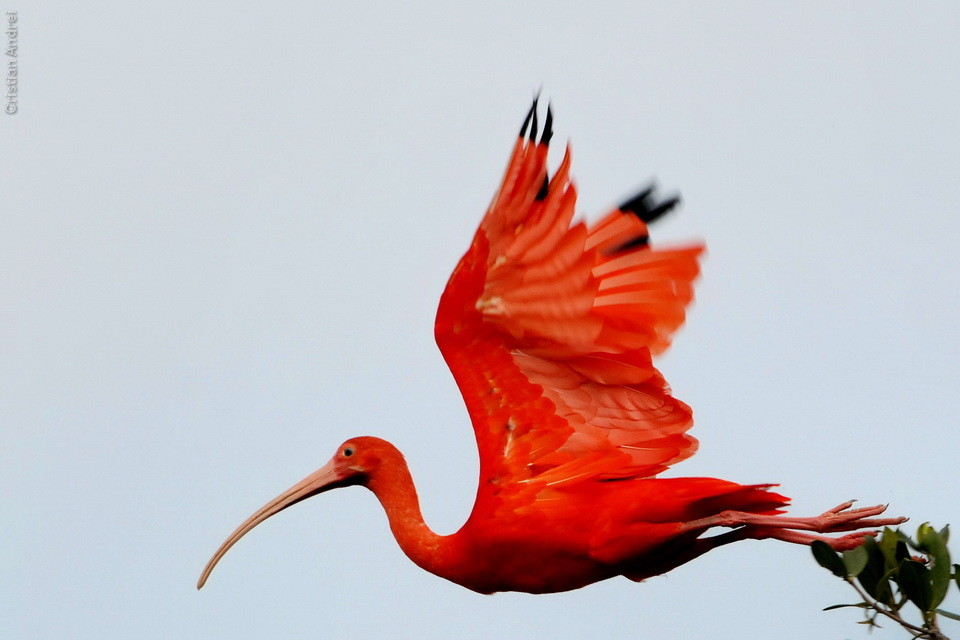 scarlet ibis essay conclusion Essays - largest database of quality sample essays and research papers on scarlet ibis thesis.