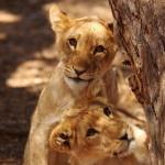 Monotemáticas: leões e leõezinhos