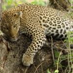 Monotemáticas: leopardos