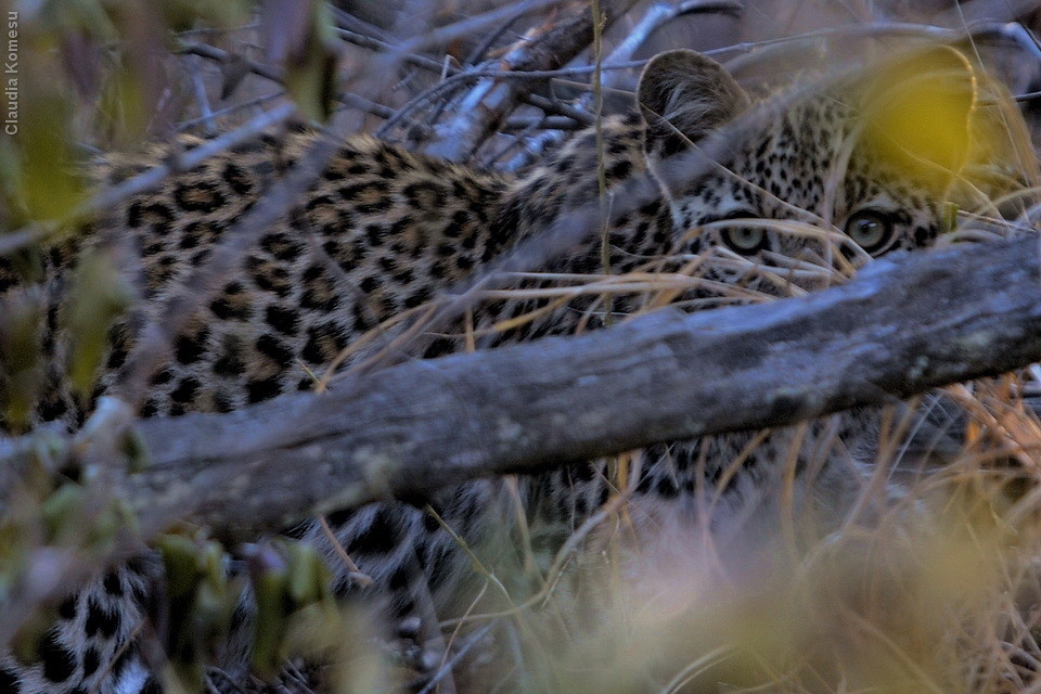 Kruger 2010 - por enquanto nossa melhor visão de filhote de leopardo