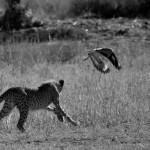 Monotemáticas: jovem guepardo e o Spotted Thick-knee