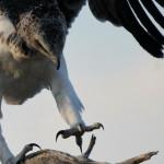 Monotemáticas: Martial Eagle
