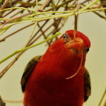 Monotemáticas: Red-headed Weaver