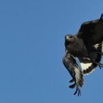 Passeio: Jacutinga – MG, jul/10. O gavião-de-rabo-branco melânico.
