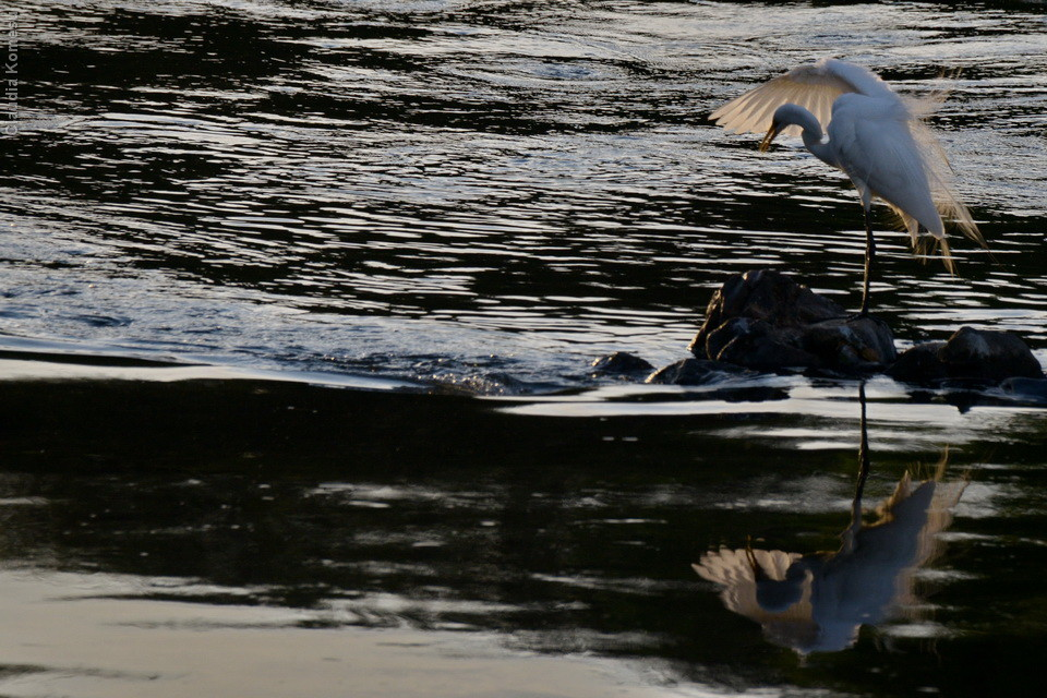 Garça-branca-grande