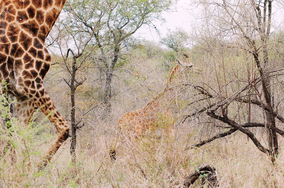 vg_africa06_49_Kruger