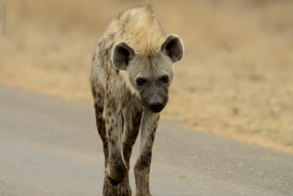 Três hienas adultas, destemidas