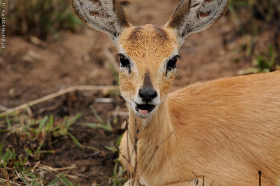 Steenbok mascando chiclete