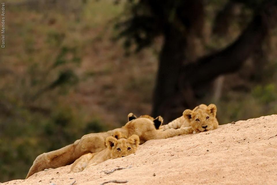 Leõezinhos na Baobab Three Road