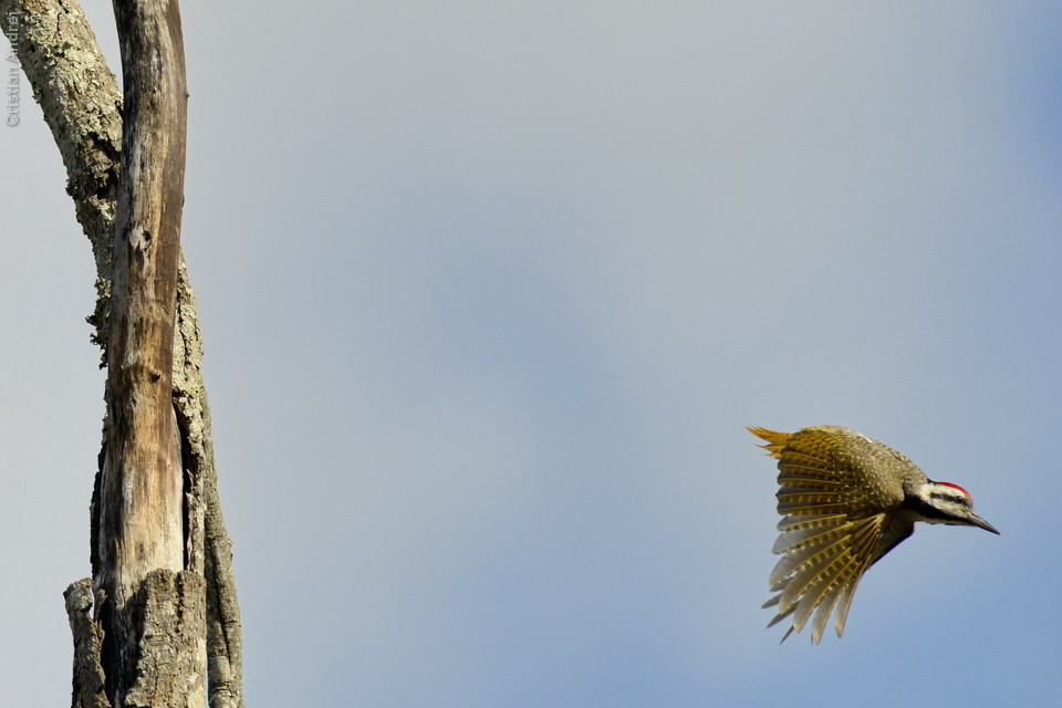 Bearded Woodpecker. Era lifer, e de repente só víamos ele.