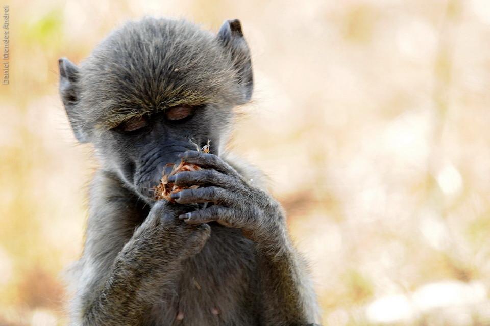 Nem pareciam babuínos