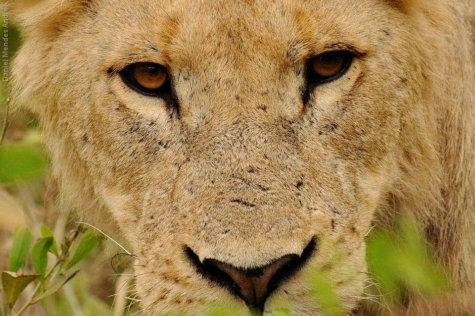 """Como disse van den Berg: """"Os olhos de um leão são um espelho que reflete apenas a verdade. Quando olhamos nos olhos de um leão, nos vemos apenas como carne"""""""