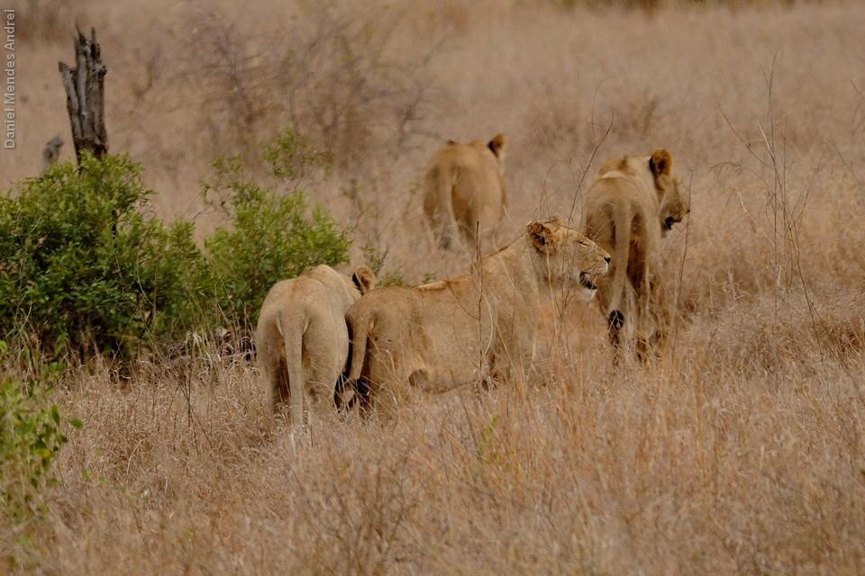 Grupo com 8 leões jovens, Satara - S100