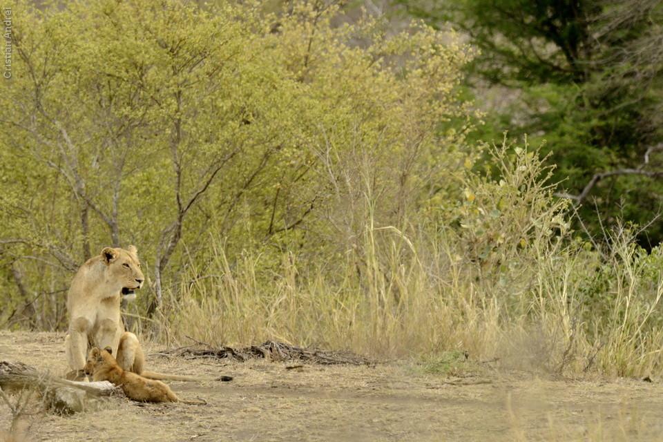Grupo de leoas com filhotes, final da famosa S100
