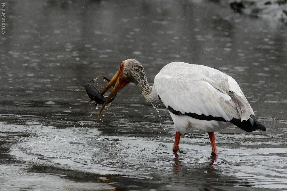 "Yelow-billed Stork, e ""petisco"""