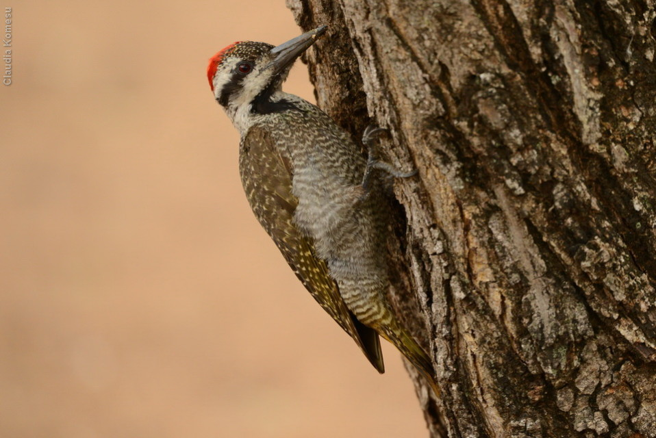 Bearded Woodpecker, no campo, a menos de 3m