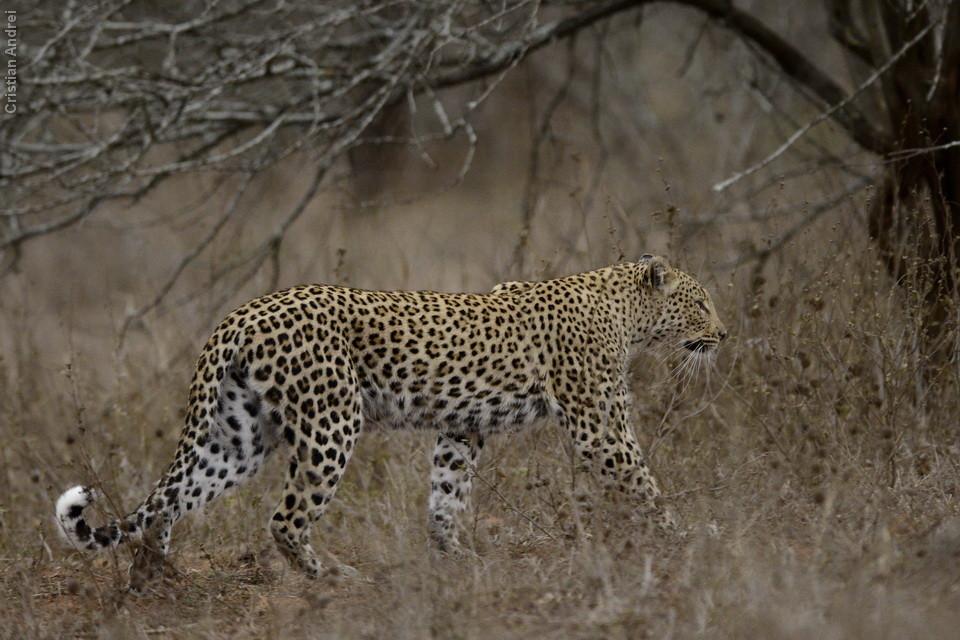 Nunca vimos um leopardo tão de perto, caminhando