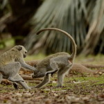 Monotemáticas: Capoeira de Vervet Monkeys