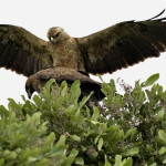 Monotemáticas: Tawny Eagle – papinho