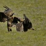 Espanha-birdwatching_20
