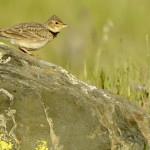 Espanha-birdwatching_47