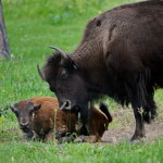 Buffalo-Herd-Nature-Preserve_14