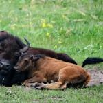 Buffalo-Herd-Nature-Preserve_16