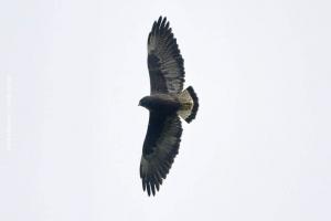 Minas-Gerais_birdwatching_17