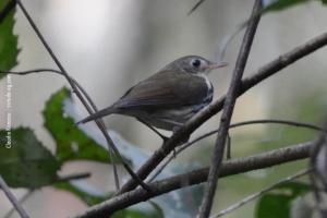 Minas-Gerais_birdwatching_19