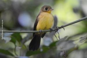 Minas-Gerais_birdwatching_20