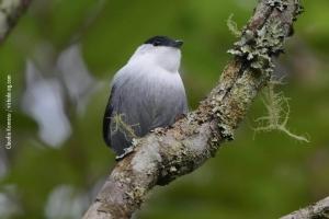 Minas-Gerais_birdwatching_22