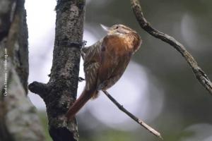 Minas-Gerais_birdwatching_24