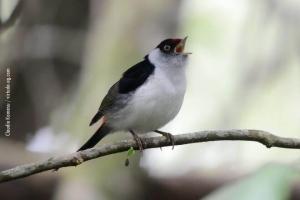 Minas-Gerais_birdwatching_27