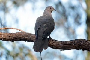 Minas-Gerais_birdwatching_29