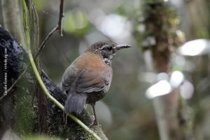 Minas-Gerais_birdwatching_31