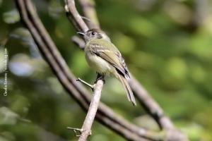 Minas-Gerais_birdwatching_34