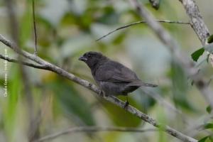 Minas-Gerais_birdwatching_37