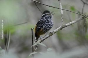 Minas-Gerais_birdwatching_40