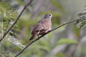 Minas-Gerais_birdwatching_41