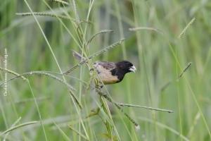 Minas-Gerais_birdwatching_42
