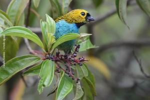 Minas-Gerais_birdwatching_44