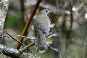 Minas-Gerais_birdwatching_47