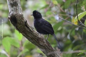 Minas-Gerais_birdwatching_49